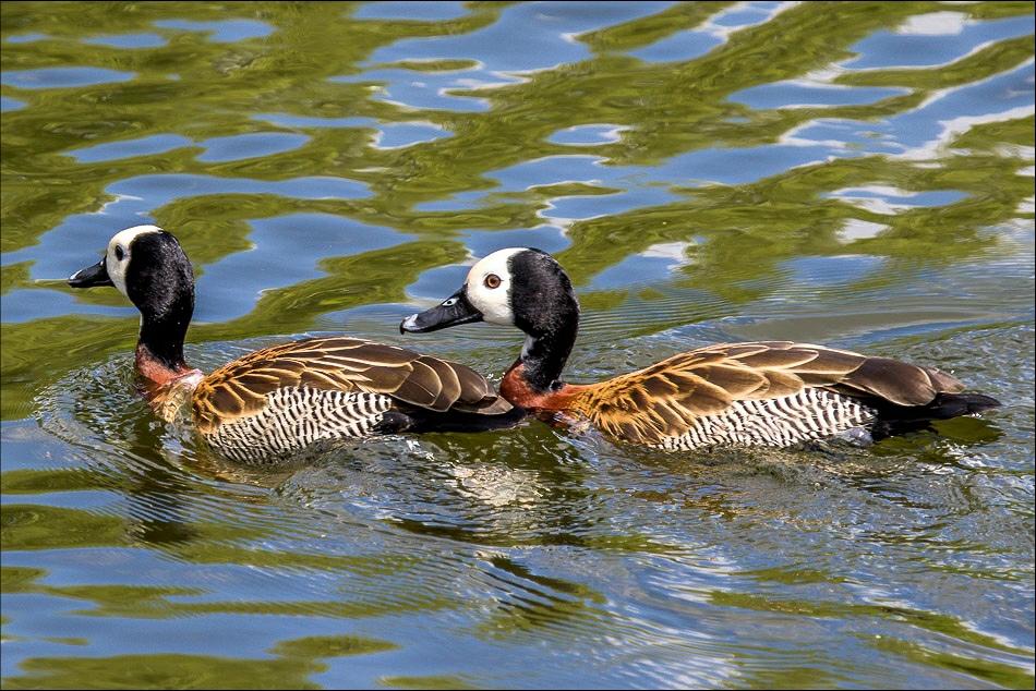 White Faced Whistling Ducks, Regents Park