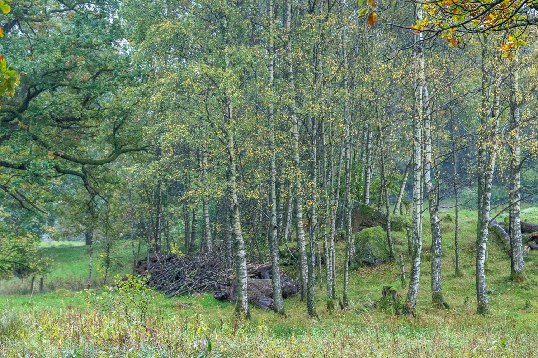 Rydal Water birch