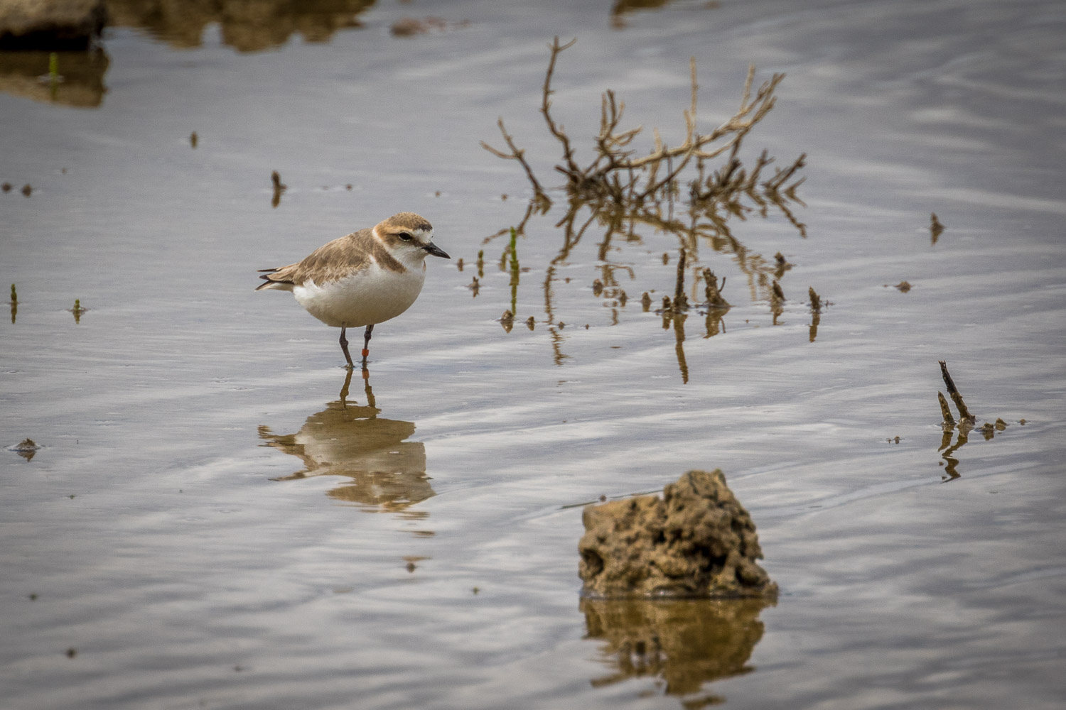 Female Kentish Plover
