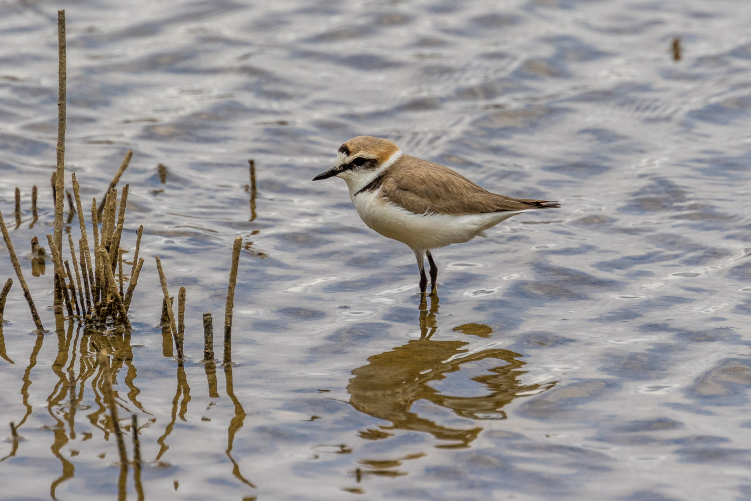 Male Kentish Plover, S'Albufera