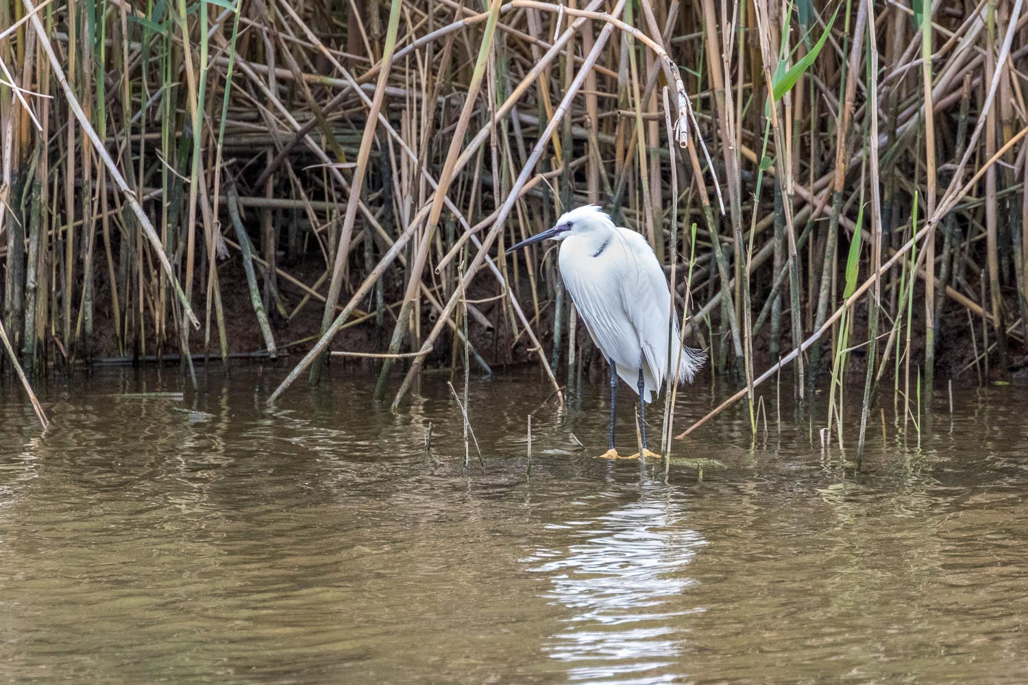 Little Egret S'albufera