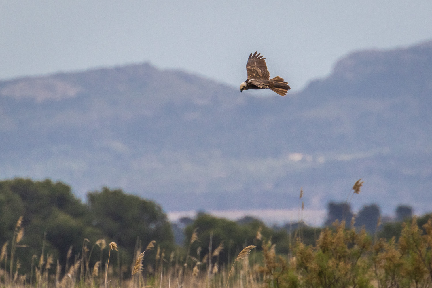 Marsh harrier S'Albufera