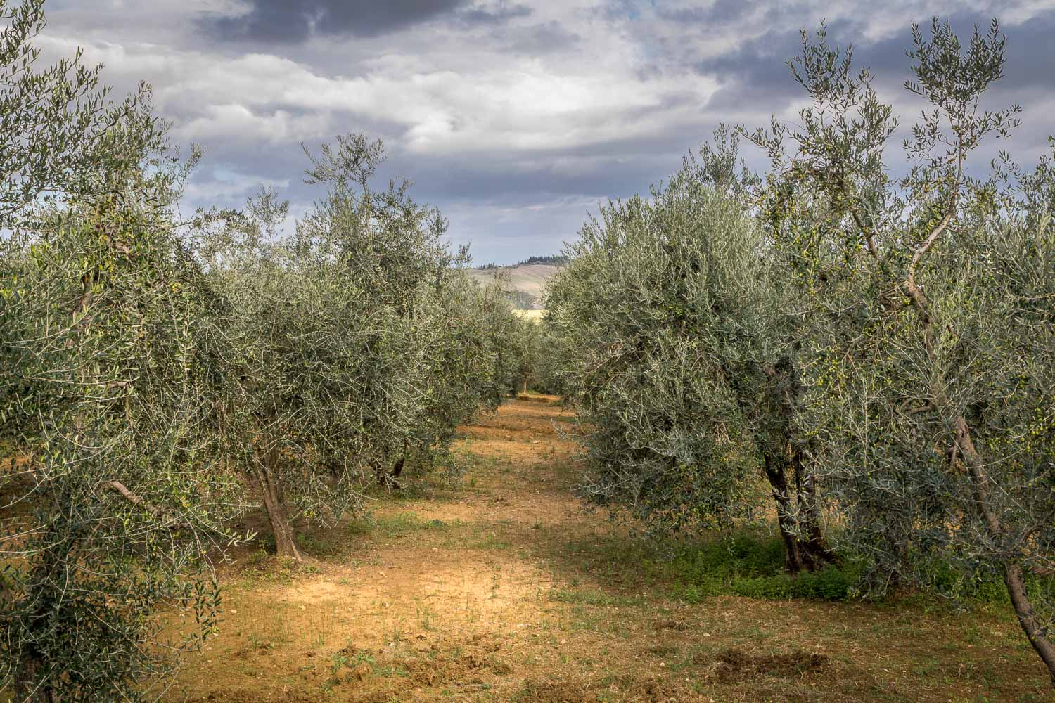 Olive grove Val d'Orcia