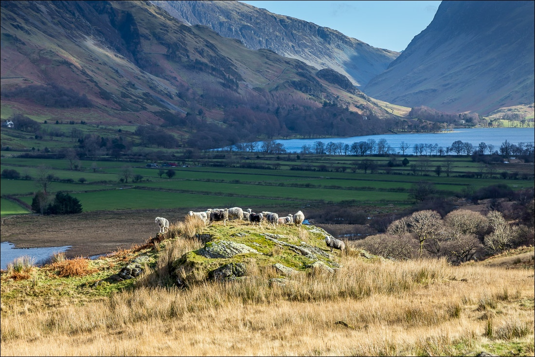 Scale Force walk Lake District,, herdwick