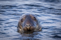 Farne Islands grey seals