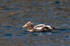 Farne Islands eider duck