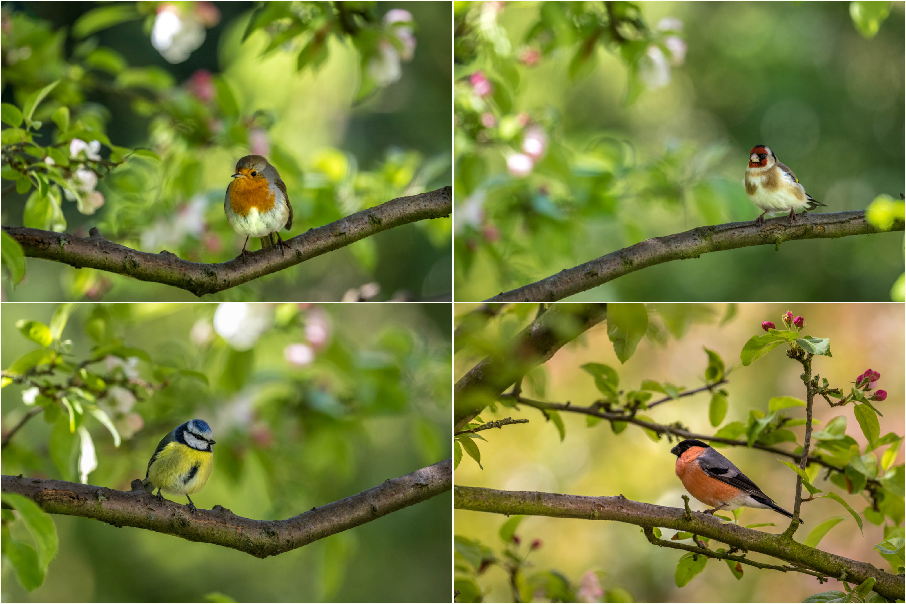 Robin, goldfinch, blue tit, bullfinch