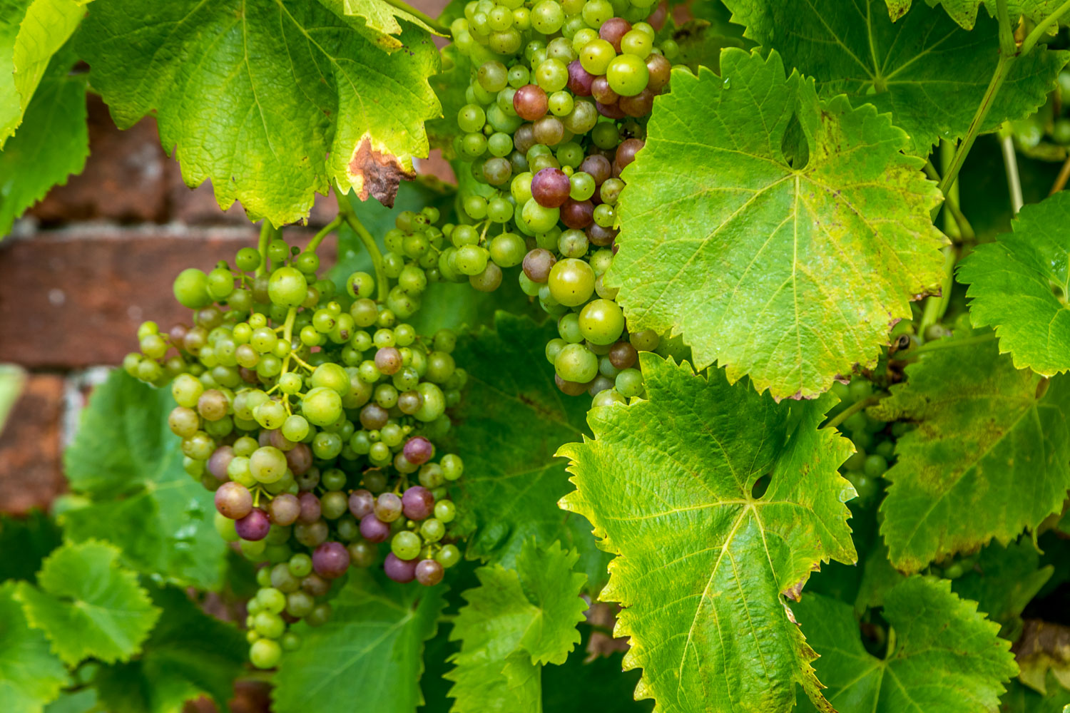 Sizergh Castle garden, grapes