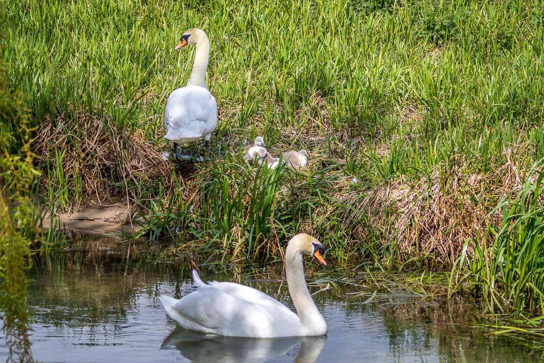 swan, cygnet