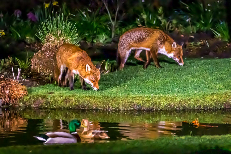 Fox, mallard