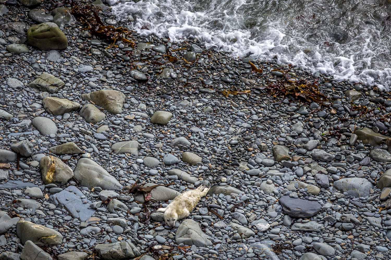 St David's Head walk, grey seal pup