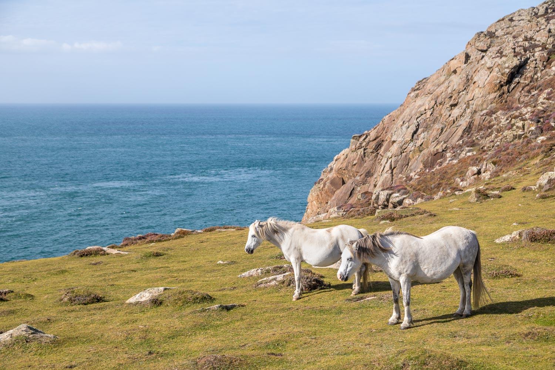 St David's Head walk, Welsh Mountain Pony