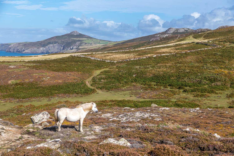 St David's Head walk, Welsh Mountain Pony, Carn Penberry, Carn Llidi
