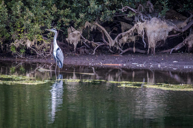 Stackpole Estate walk, Bosherston Lily Ponds, heron