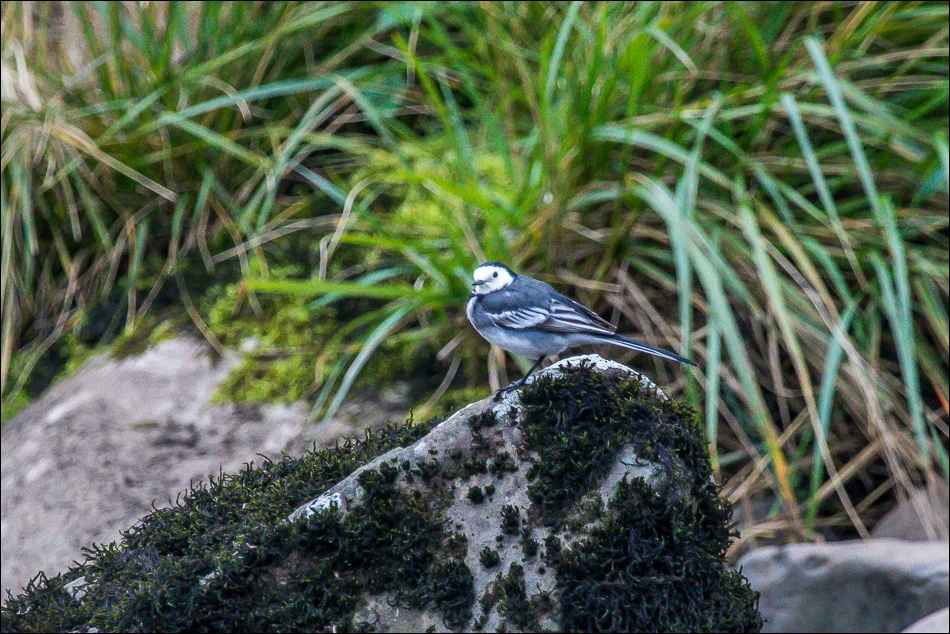 Pied wagtail River Ribble