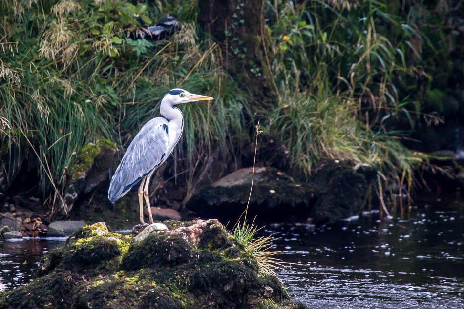 Heron River Ribble