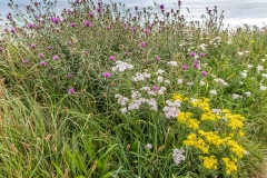 Runswick Bay walk, Staithes walk, Cleveland Way, wild flowers