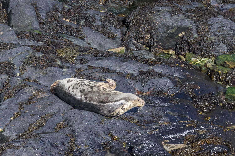 Seal, Pembrokeshire