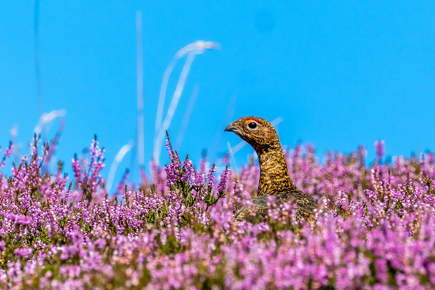 Swaledale walk, red grouse