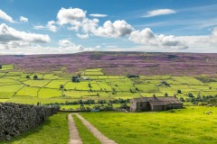 Swaledale walk, heather