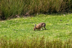 Swaledale walk, hare