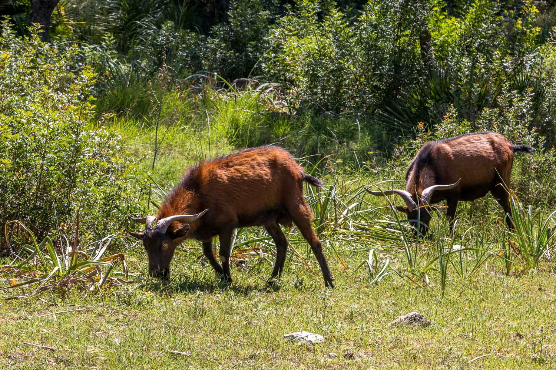 wild Mallorcan goats
