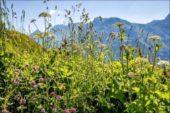 wildflowers, Oberlech
