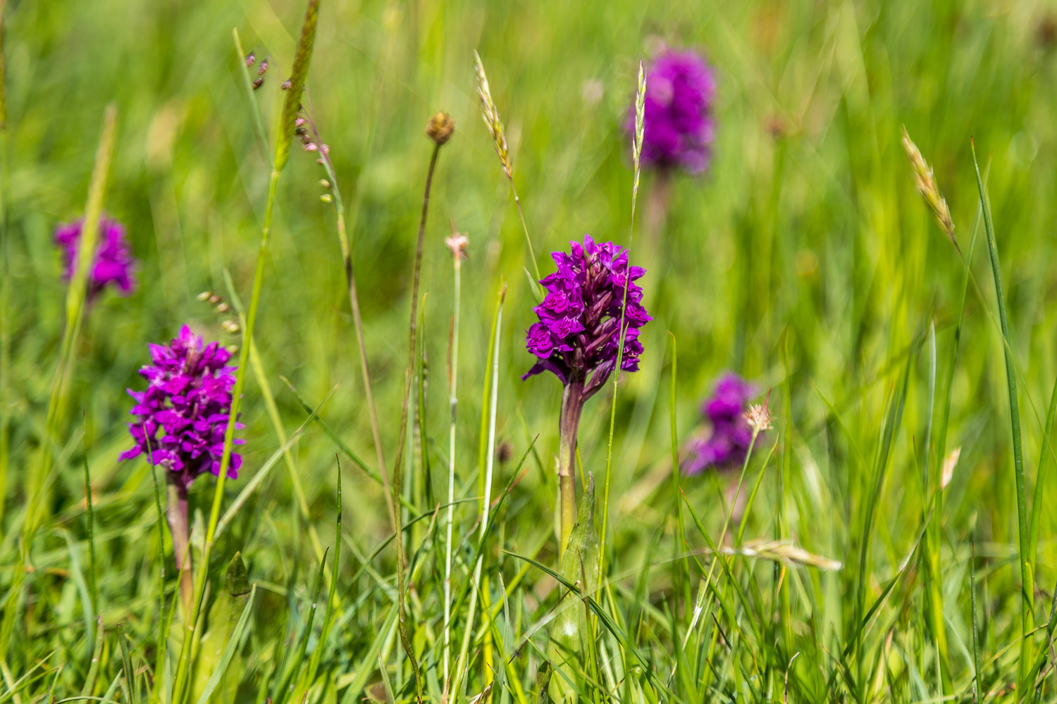 Wild orchids Tarn Hows