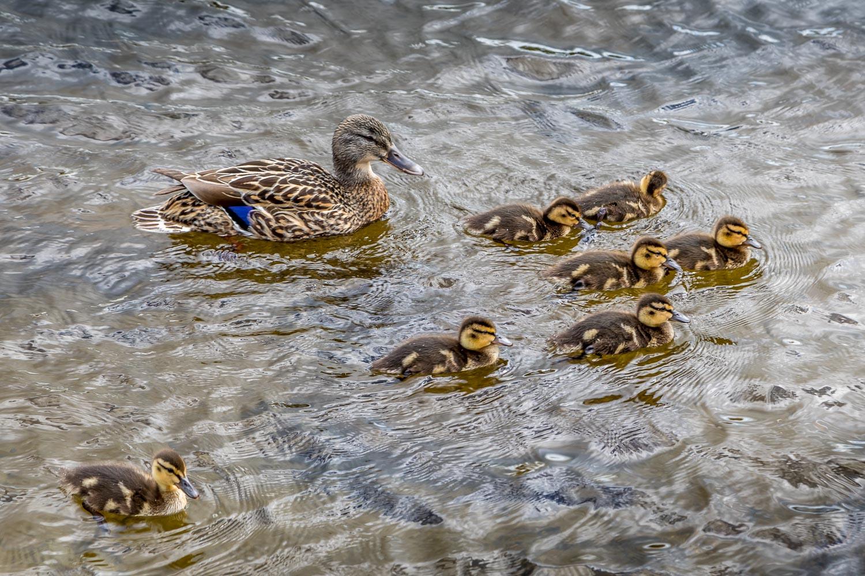 Ducklings Tarn Hows