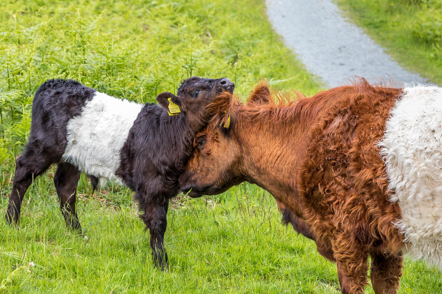 Tarn Hows walk, Belted Galloway