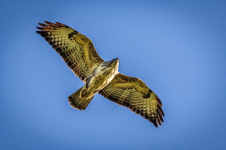 Tealby walk, buzzard