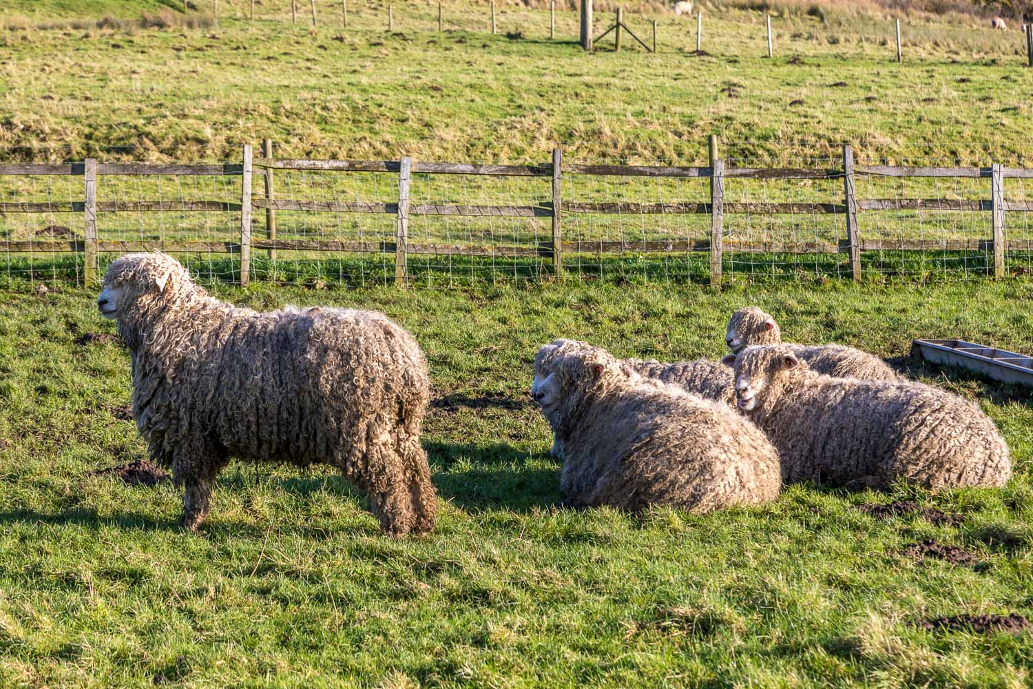Rare breed Lincoln Longwool sheep