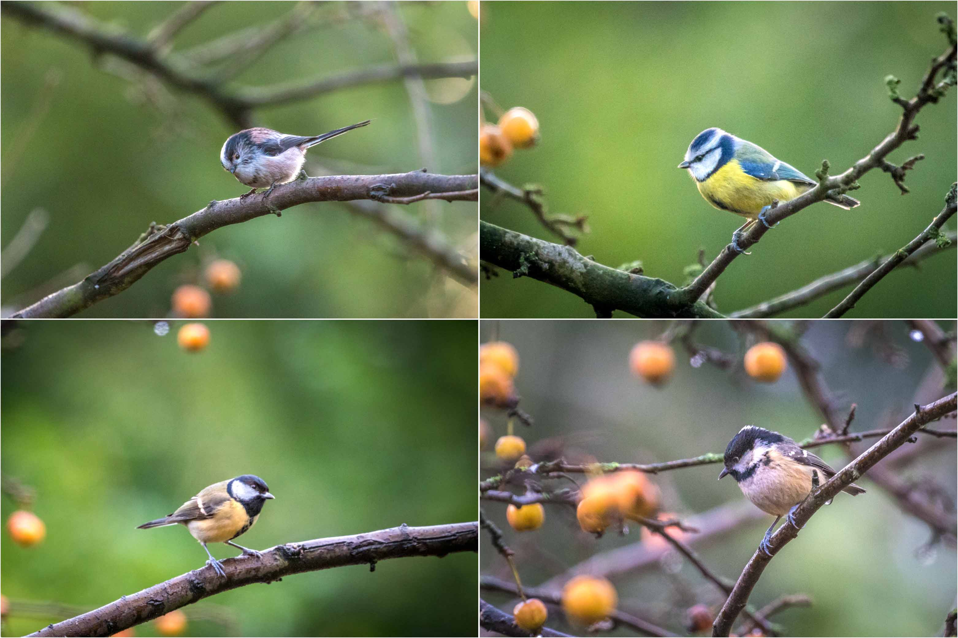 Long tailed tit, blue tit, great tit, coal tit