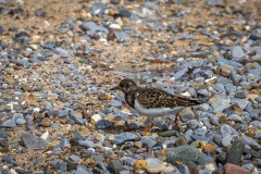 Tenby walk, turnstone