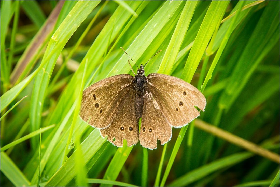Terrington walk, ringlet butterfly