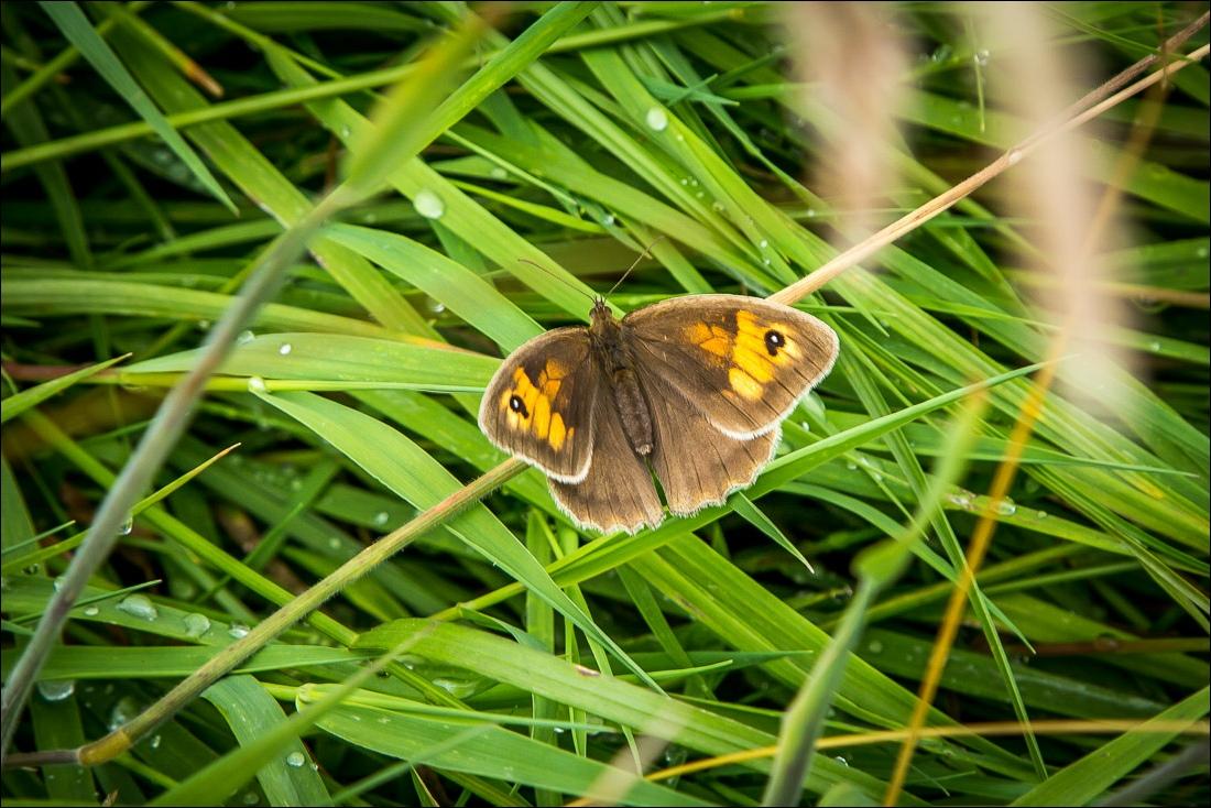 Terrington walk, meadow brown
