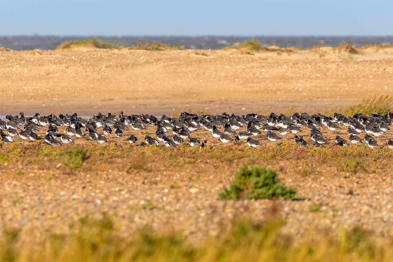 Thornham walk, oystercatchers