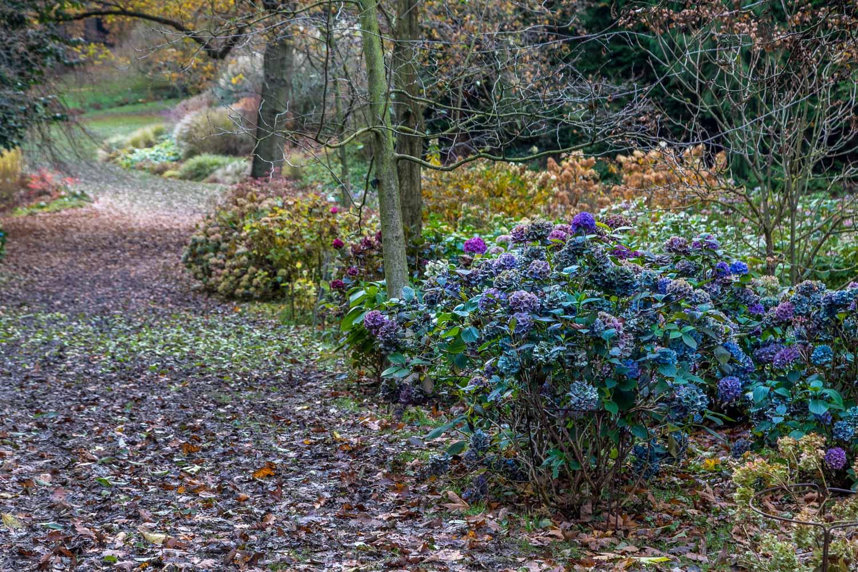 Thorp Perrow Arboretum, hydrangea