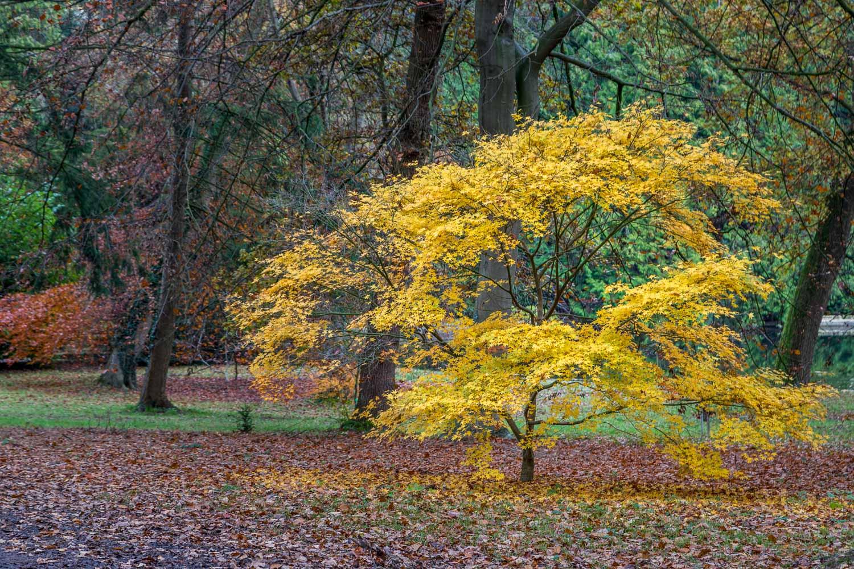 Thorp Perrow Arboretum, acer