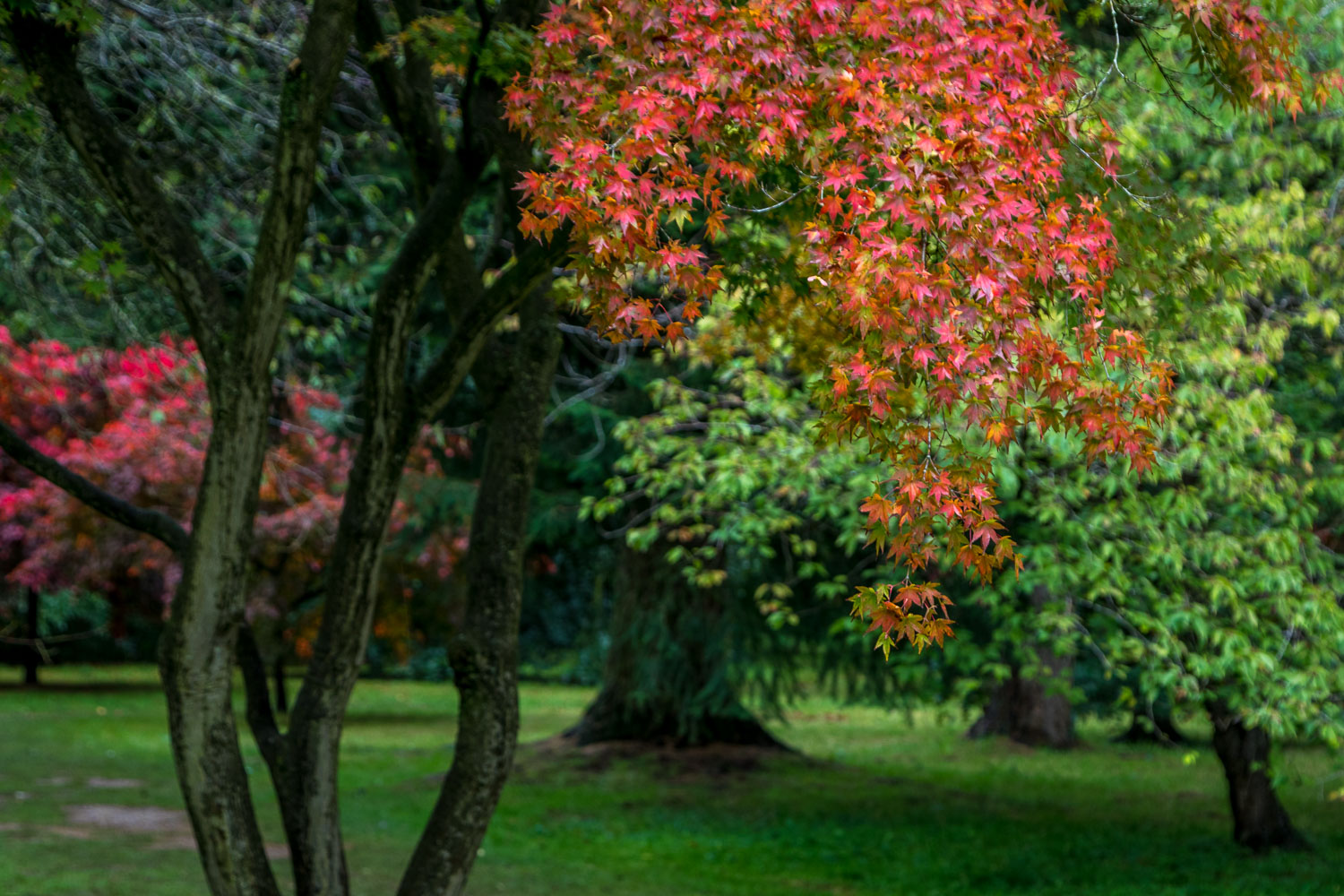 ThThorp Perrow, acer, Japanese maple