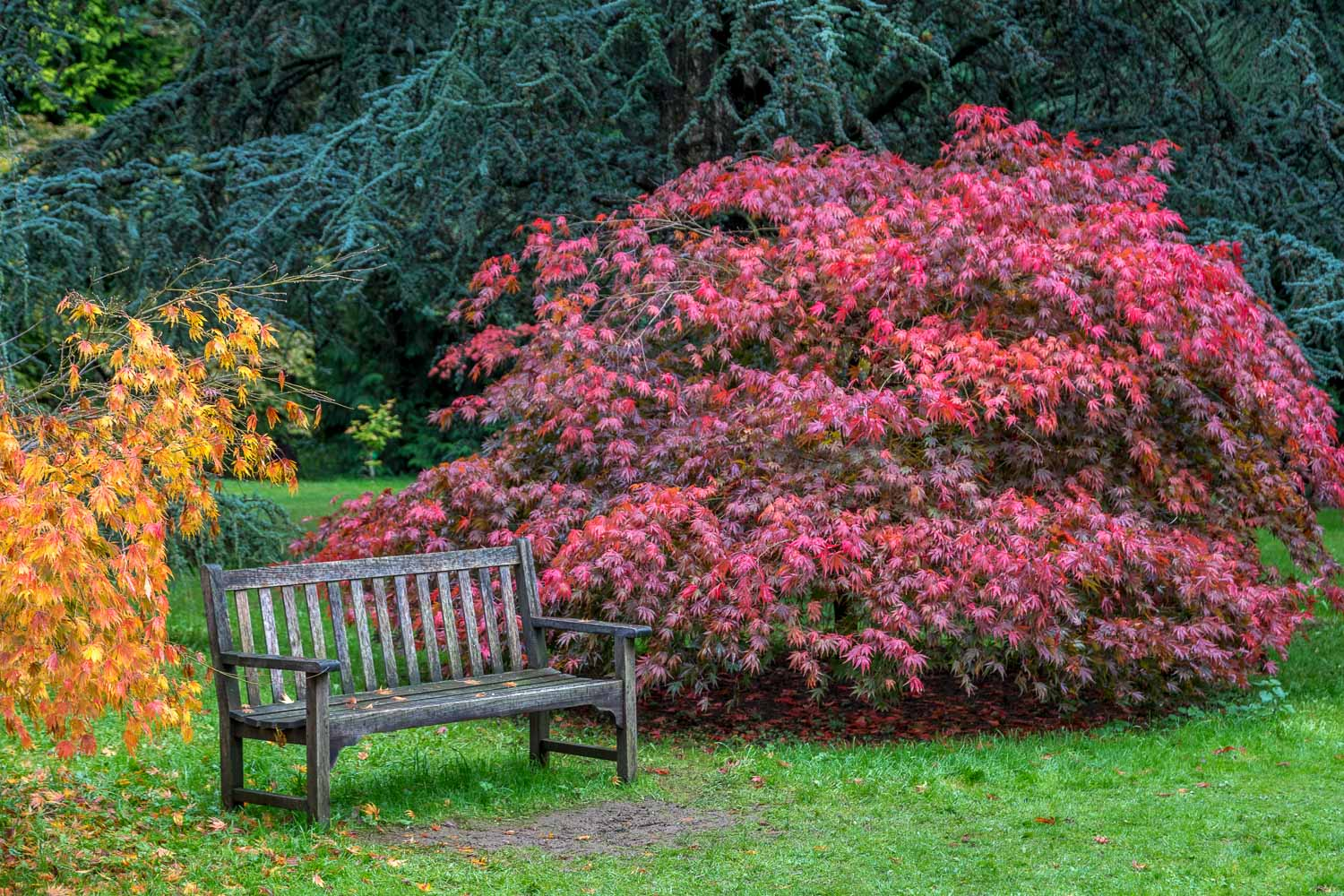 TThorp Perrow, acer, Japanese maple