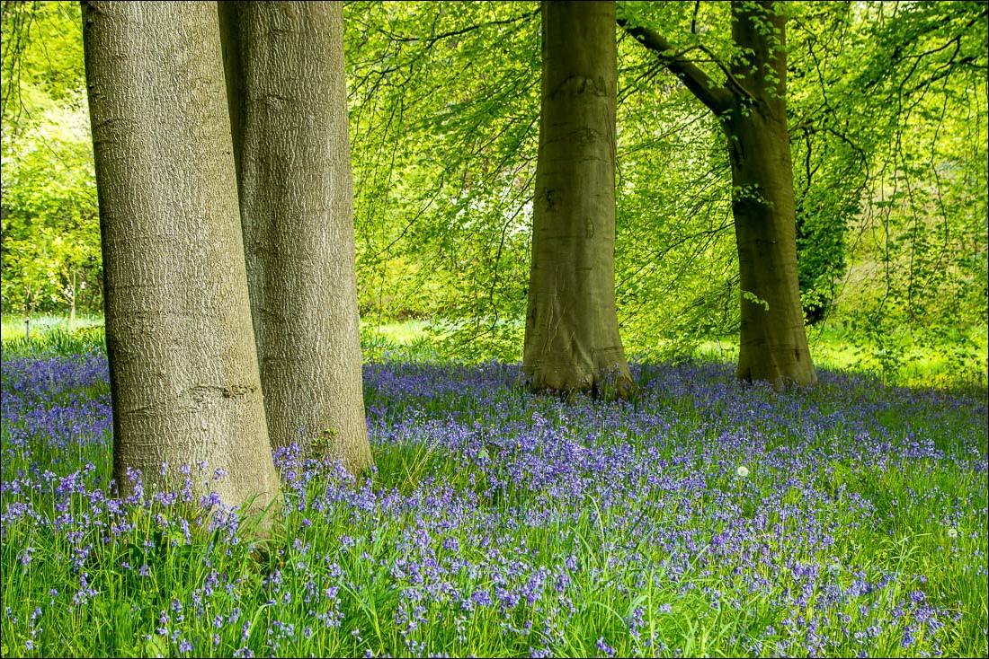bluebells in Thorp Perrow Arboretum