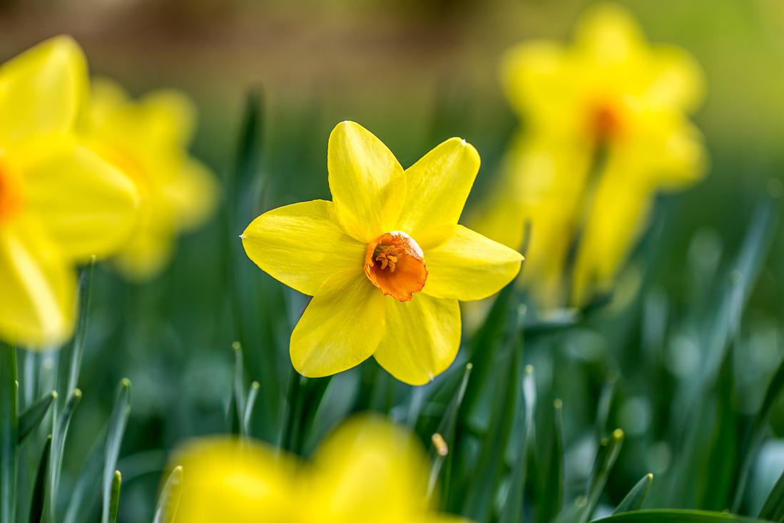 Threave Gardens daffodils