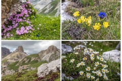 Tre Cime, Alpine flowers in the Pian Da Rin
