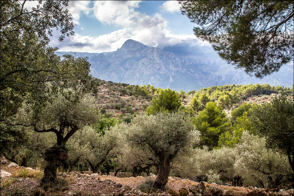 ancient olive groves Mallorca
