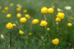 Globe flowers, Dolomites