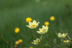 Alpine Pasque Flowers, Dolomites