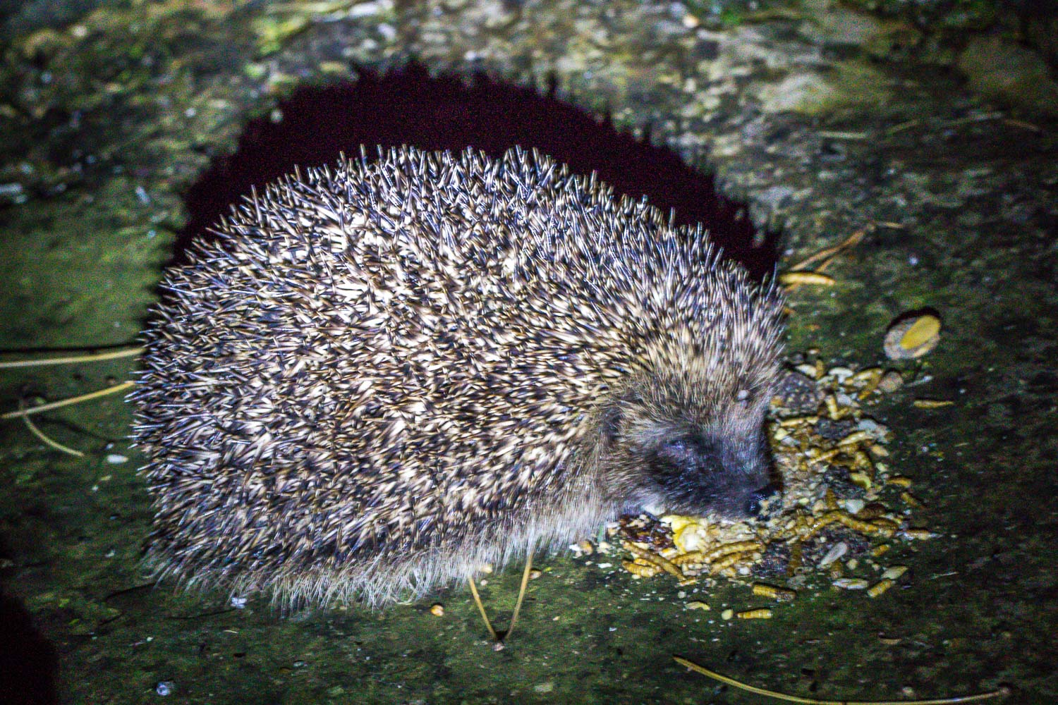 Hedgehog Lake District