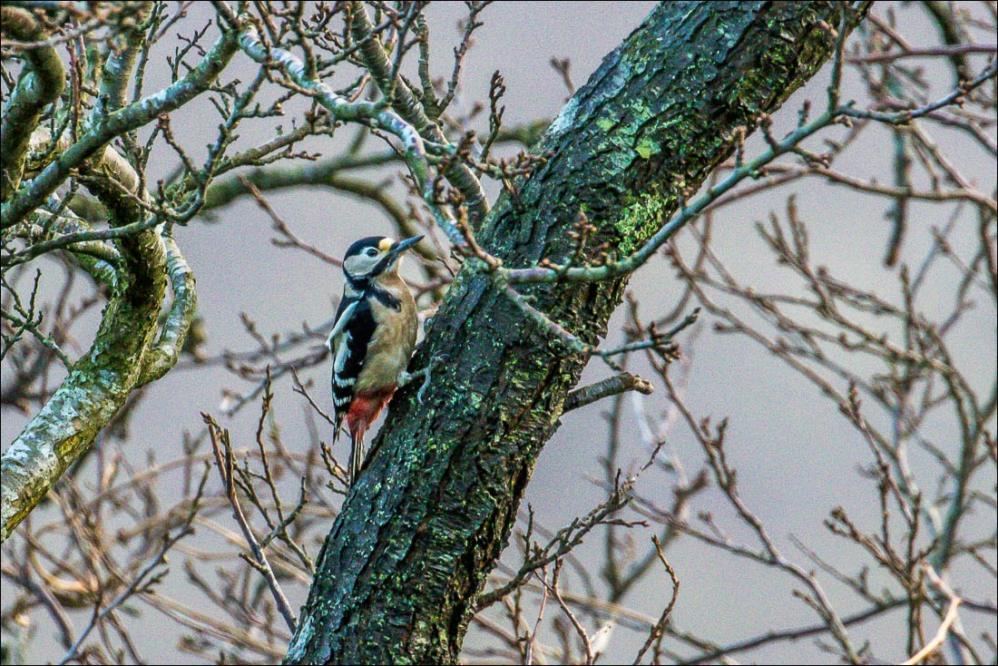 great spotted woodpecker  lake district