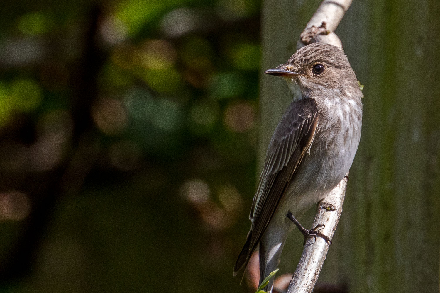 spotted flycatcher Lake District